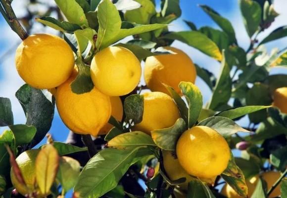 9 Trucchi per far fiorire i Limoni