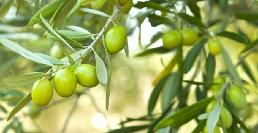 Quale concime per olivi: guida completa