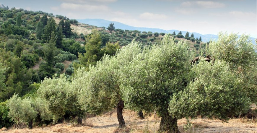 Concime olivo biologico